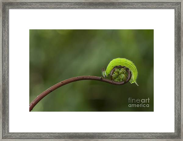 A Green Caterpillar Walked On A Fern Framed Print by Robby Fakhriannur