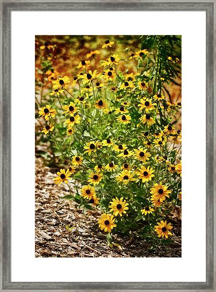 A Group Of Bossoming Black-eyed Susans Framed Print by Maria Mosolova