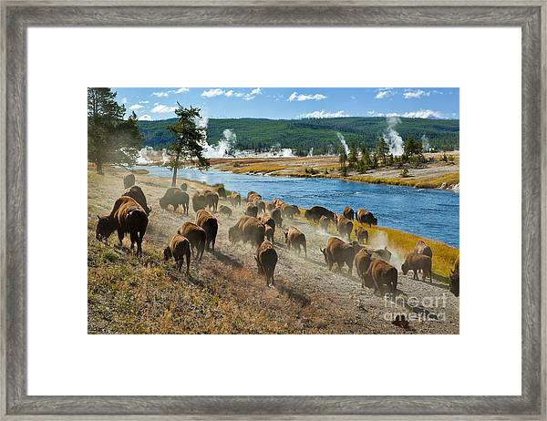 A Herd Of Bison Moves Quickly Along The Framed Print