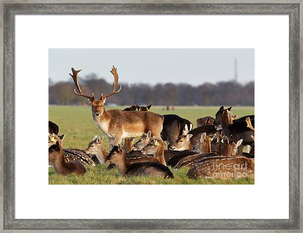 A Herd Of Deer In The Phoenix Park In Framed Print