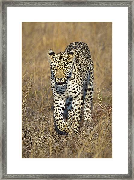 A Leopard Walking Through Grass Framed Print by Sean Russell