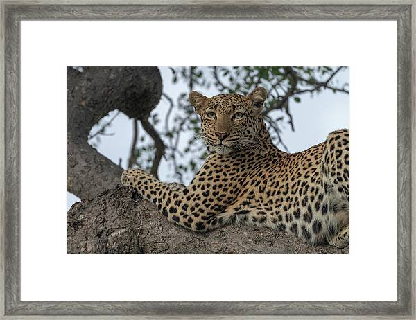 A Leopard Gazes From A Tree Framed Print