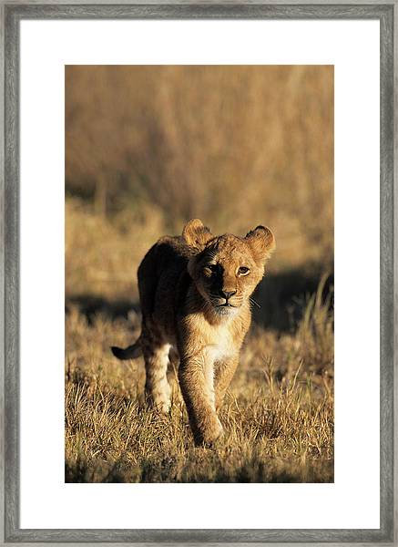 A Lion Cub Advancing Towards The Camera Framed Print