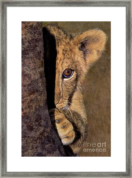 A Lion Cub Plays Hide And Seek Wildlife Rescue Framed Print