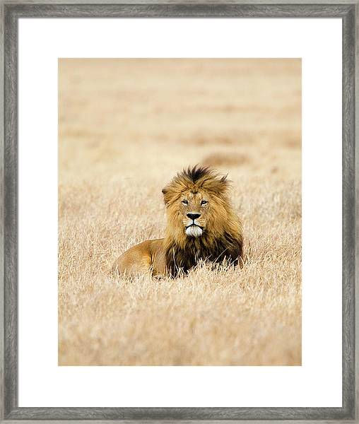 A Lion Framed Print by Sean Russell