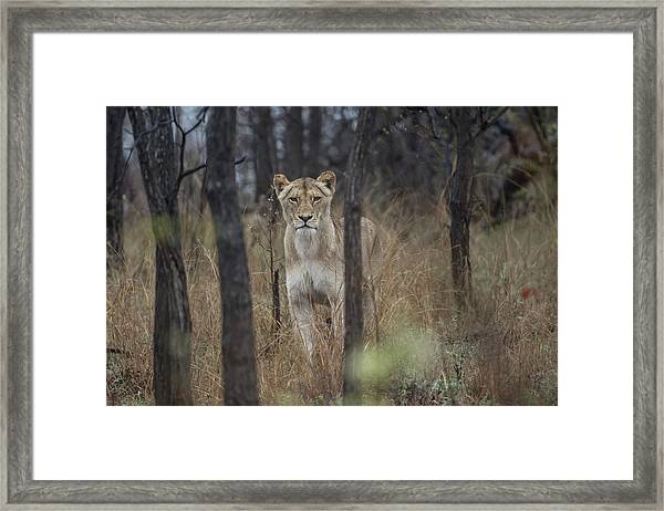 A Lioness In The Trees Framed Print