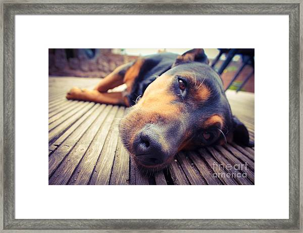 A Mixed Breed Dog Dozing On Wooden Deck Framed Print