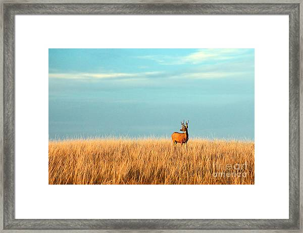 A Mule Deer Buck Stands In A Tall Bed Framed Print
