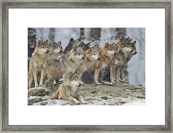 A Pack Of Wolves In Snow Framed Print