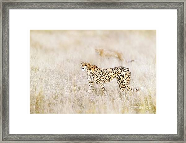 A Pair Of Cheetahs Move Steathily Through The Long Grass Of The  Framed Print