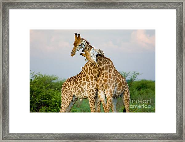 A Pair Of Giraffe Entwining Their Necks Framed Print