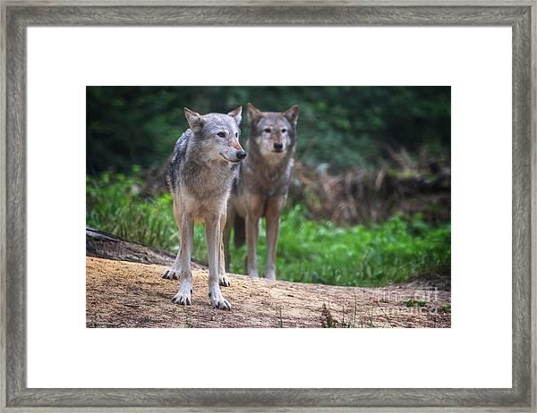 A Pair Of Mackenzie Valley Wolves Framed Print