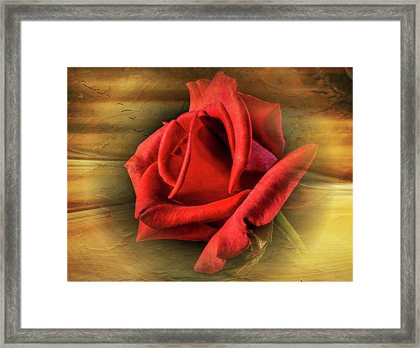A Red Rose On Gold Framed Print