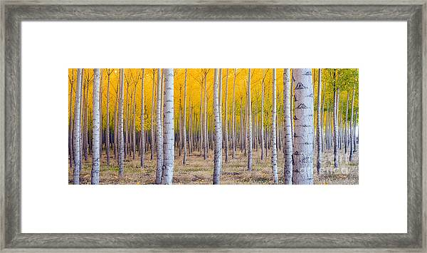 A Stand Of Trees Begins To Weather Fall Framed Print by Christopher Boswell