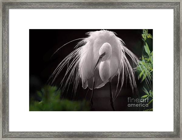 A Touch Of Class - Great Egret With Plumage Framed Print