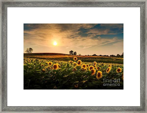 A View Of A Sunflower Field In Kansas Framed Print