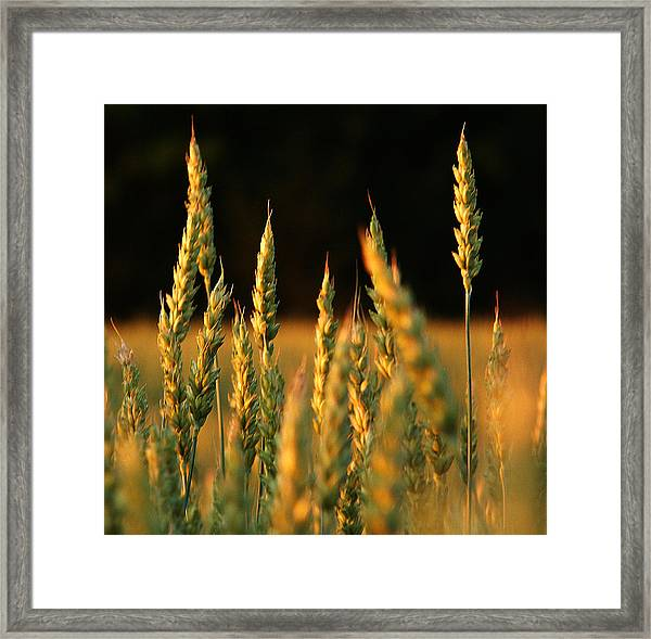 A Wheat Field Towards The End Of The Day Framed Print by Ssuni
