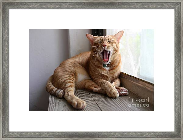 A Yawning Cat Framed Print