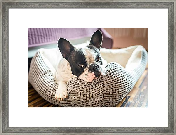 Adorable French Bulldog On The Lair Framed Print