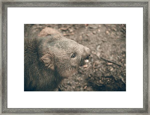 Framed Print featuring the photograph Adorable Large Wombat During The Day Looking For Grass To Eat by Rob D Imagery
