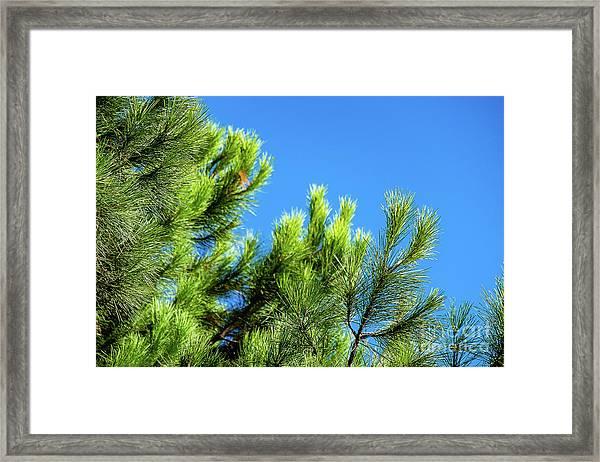 Adriatic Pine Against Blue Sky  Framed Print