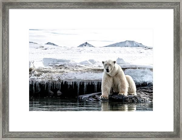 Adult Male Polar Bear At The Ice Edge In Svalbard Framed Print