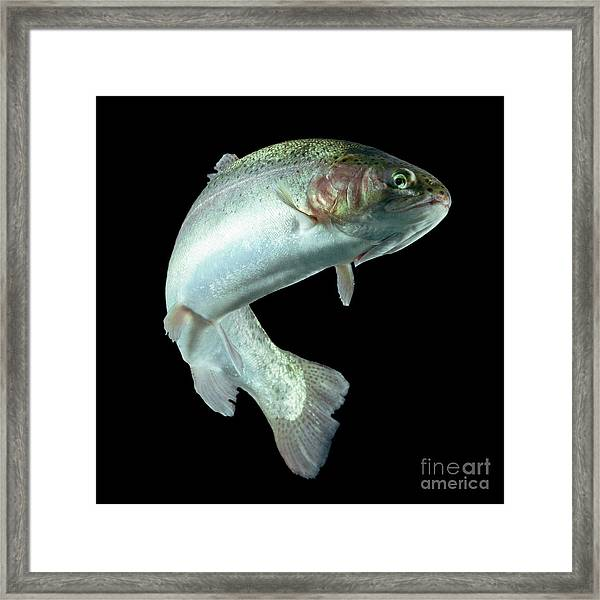 Adult Trout Fish Isolated On Black Framed Print