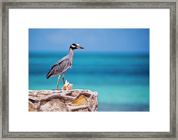 Adult Yellow-crowned Night-heron At Framed Print
