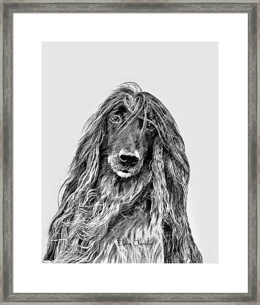 Afghan Hound 3 Framed Print