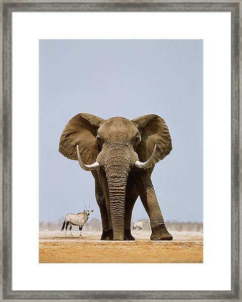 African Elephant And Gemsboks, Namibia Framed Print