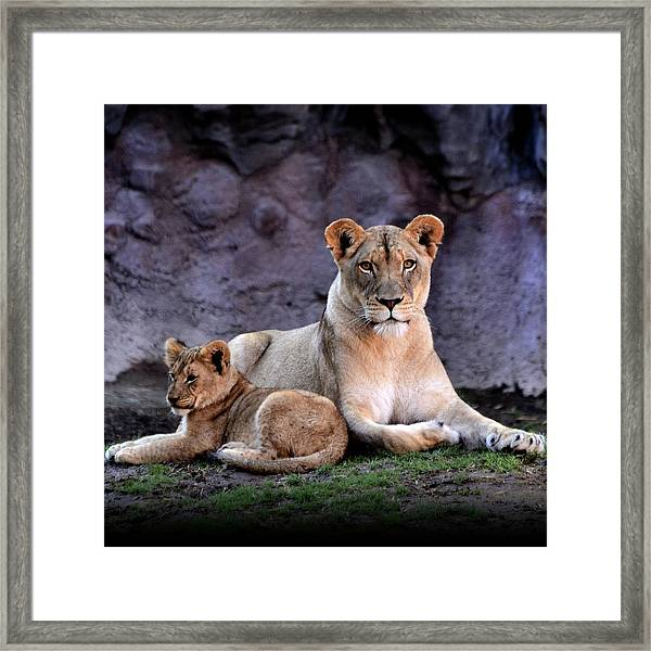 African Lion With Cub Framed Print
