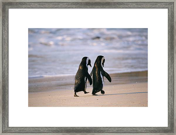 African Penguins Spenicus Framed Print