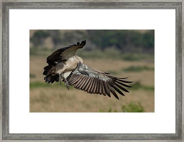 African White-backed Vulture Framed Print