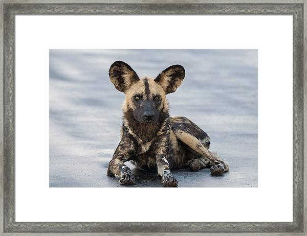 African Wild Dog Resting On A Road Framed Print
