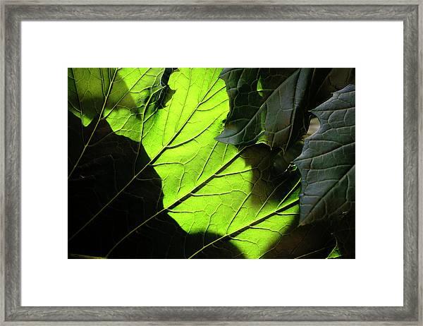 Aganthus -19-5563 Framed Print