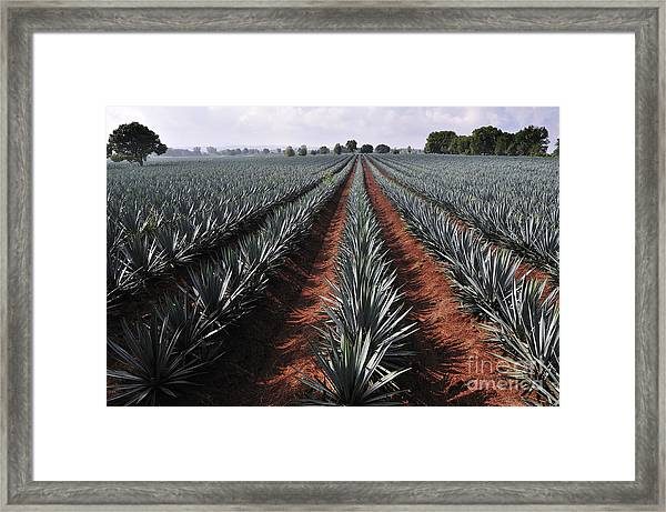 Agave Field For Tequila Production Framed Print