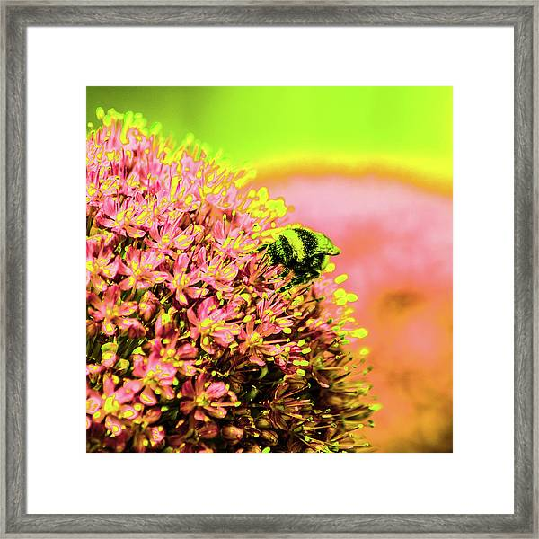 Allium With Bee 1 Framed Print