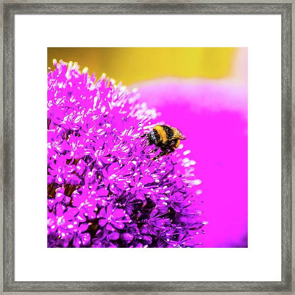 Allium With Bee 2 Framed Print
