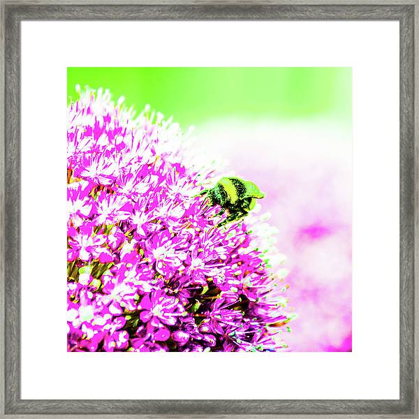 Allium With Bee 3 Framed Print