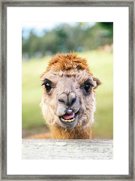 Framed Print featuring the photograph Alpaca by Rob D Imagery
