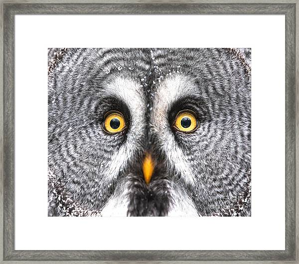 Amazed Great Grey Owl Hdr Framed Print by Pics-xl