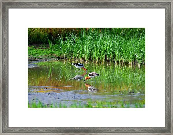 American Avocets Framed Print