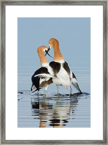 American Avocets, Courtship Dance Framed Print by Ken Archer