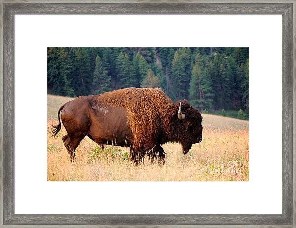 American Bison Buffalo Side Profile Framed Print
