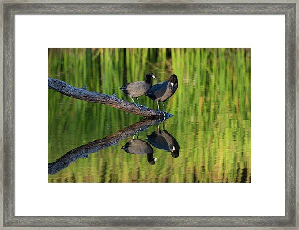 American Coot In Pond Framed Print by Larry Ditto