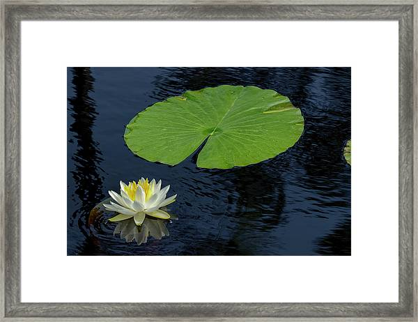 American White Waterlily, Nymphaea Framed Print