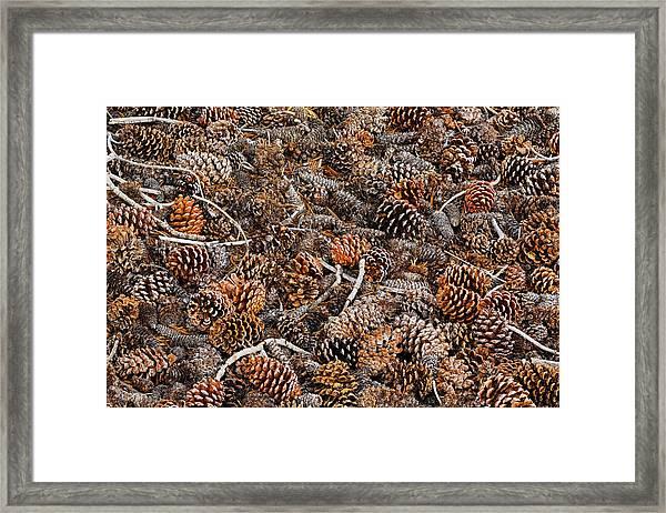 Ancient Bristlecone Pine Cones Framed Print by Adam Jones