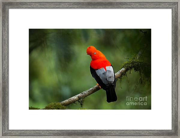 Andean Cock-of-the-rock In The Framed Print