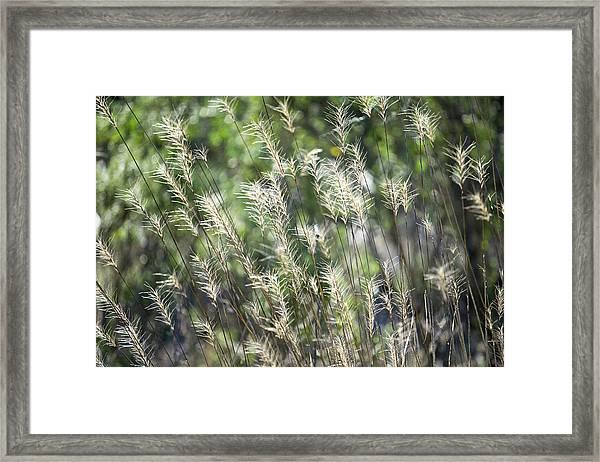 Annadel_grasses_548_18 Framed Print