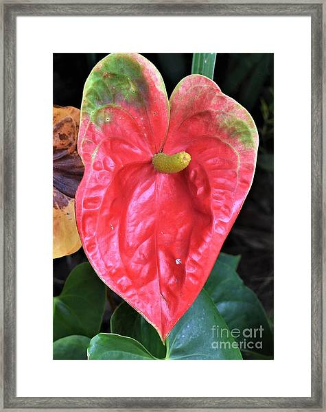Anthurium  Framed Print